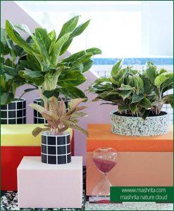 Aglaonema Plant Rentals