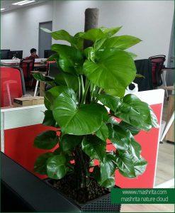 Office Plants On Rent