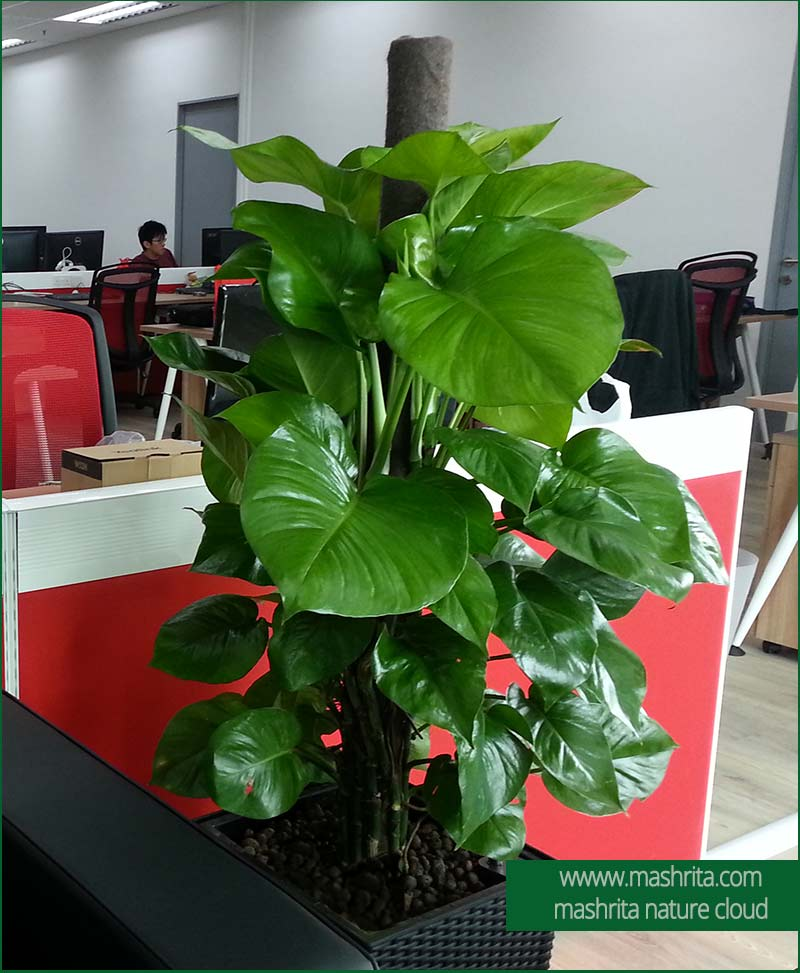 Office Plants On Rent