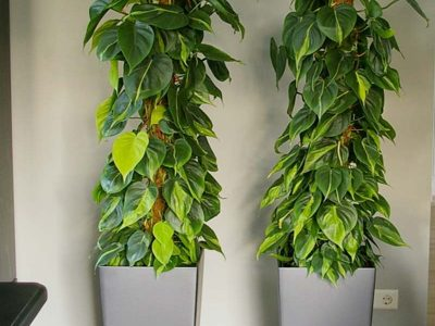 Philodendron Plant Rentals