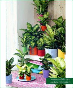 Diffenbechia Plants Rentals