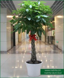 Shop Best Indoor Office Plants Online Gurgaon Delhi Noida
