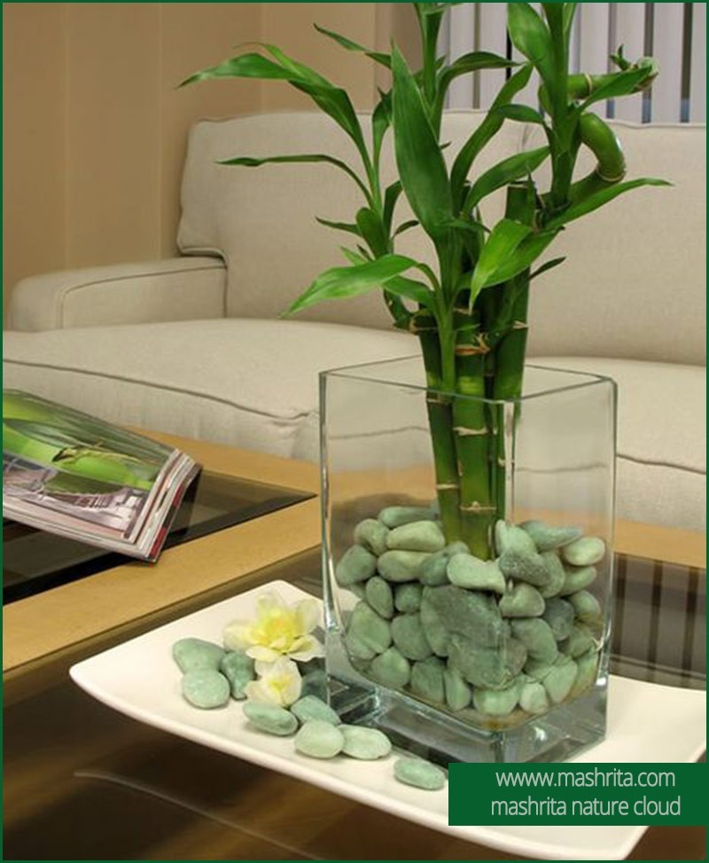 Plant Rentals Welcome Bamboos