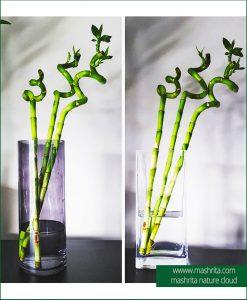 Dancing Bamboo Plant Rentals