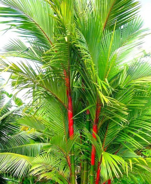 Red Wax Palm - Mashrita Nature Cloud