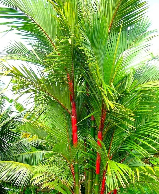 Red Wax Palm - Mashrita Nature Cloud