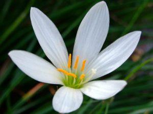 Zephyranthes Lily - Mashrita.com
