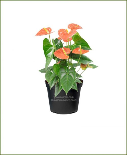 Anthurium Orange Flower (Flamingo Lily Orange)