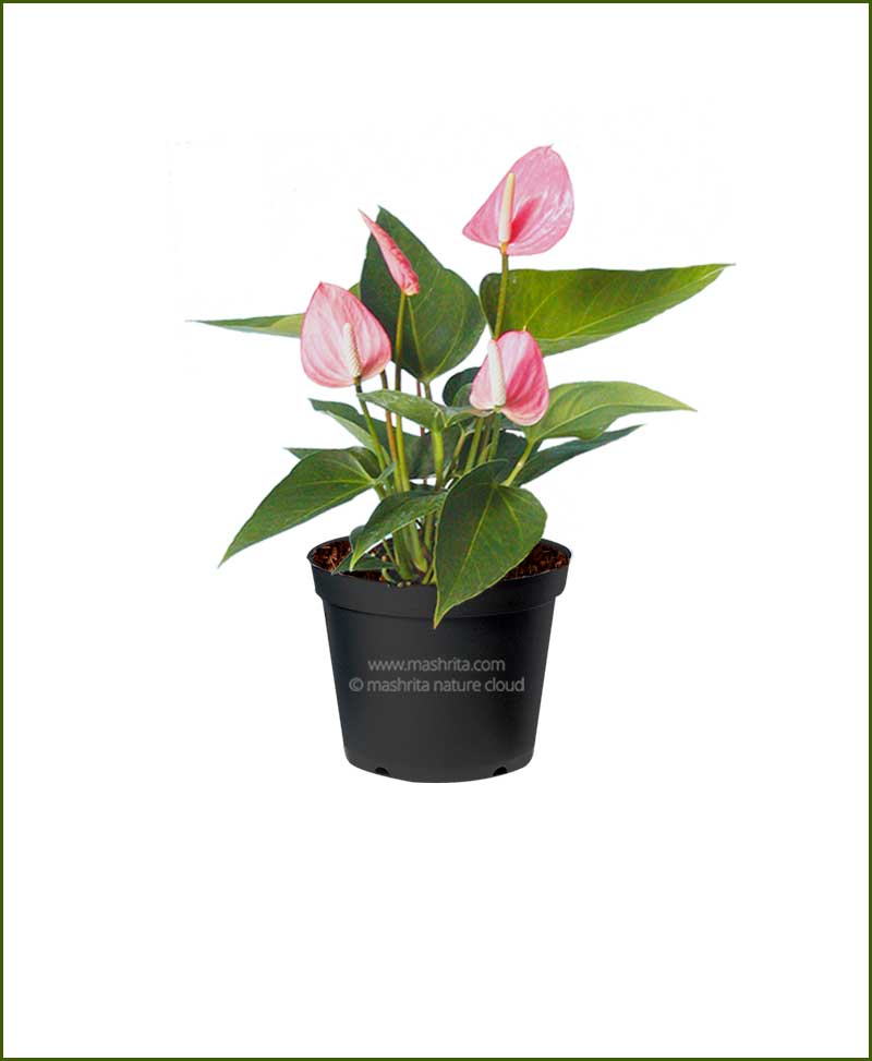 Anthurium Pink Flower (Flamingo Lily Pink)