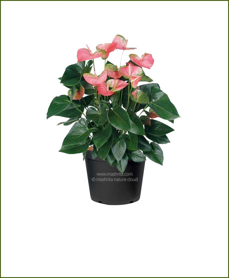 Anthurium Variegated Flower (Flamingo Lily Variegated)