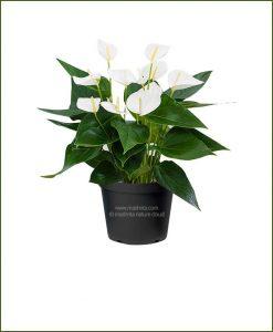 Anthurium White Flower (Flamingo Lily White)