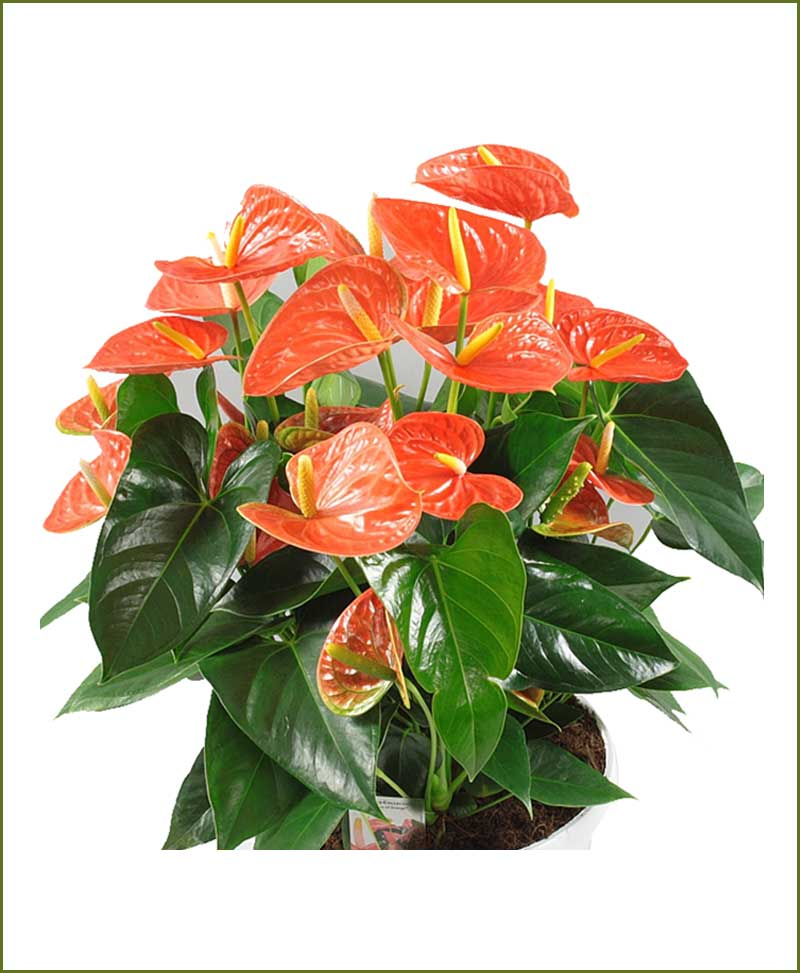 Orange anthurium flower the image kid - Anthurium turenza ...