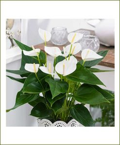Anthurium_White_Mashrita_Nature_Cloud