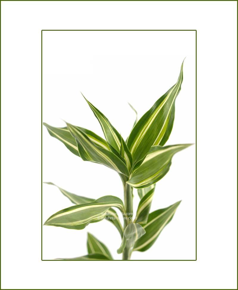 Dracaena-Sanderiana(Green)©MNC