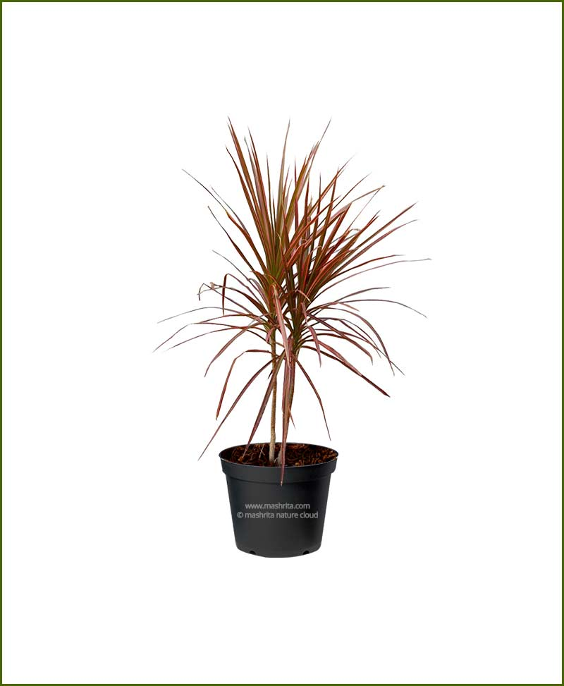 Dracaena-Tricolor-Red-(Dracaena-Marginata-Red-edged-Dracaena)©MNC