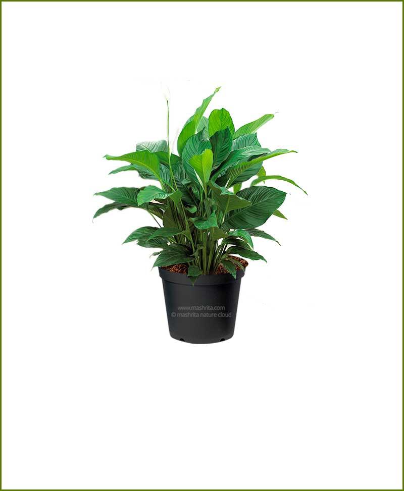 Peace Lily Sunshine (Spathiphyllum Sunshine)