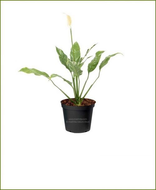 Peace Lily Variegated (Spathiphyllum Variegated)