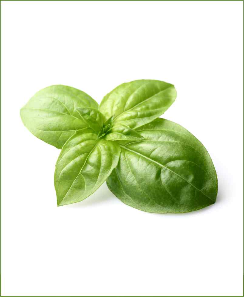 Basil - Tulsi (Holy Basil) Types – This Herb is Found All Over the World!