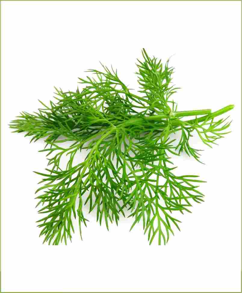Dill Potted Plant