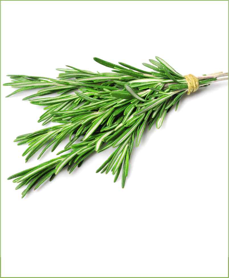Rosemary Potted Plant (Rosmarinus Officinalis)