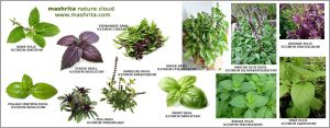 18 Types of Basil (Tulsi) - The herb is loved all over the World!