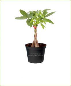 5-Braided-Pachira-Trees