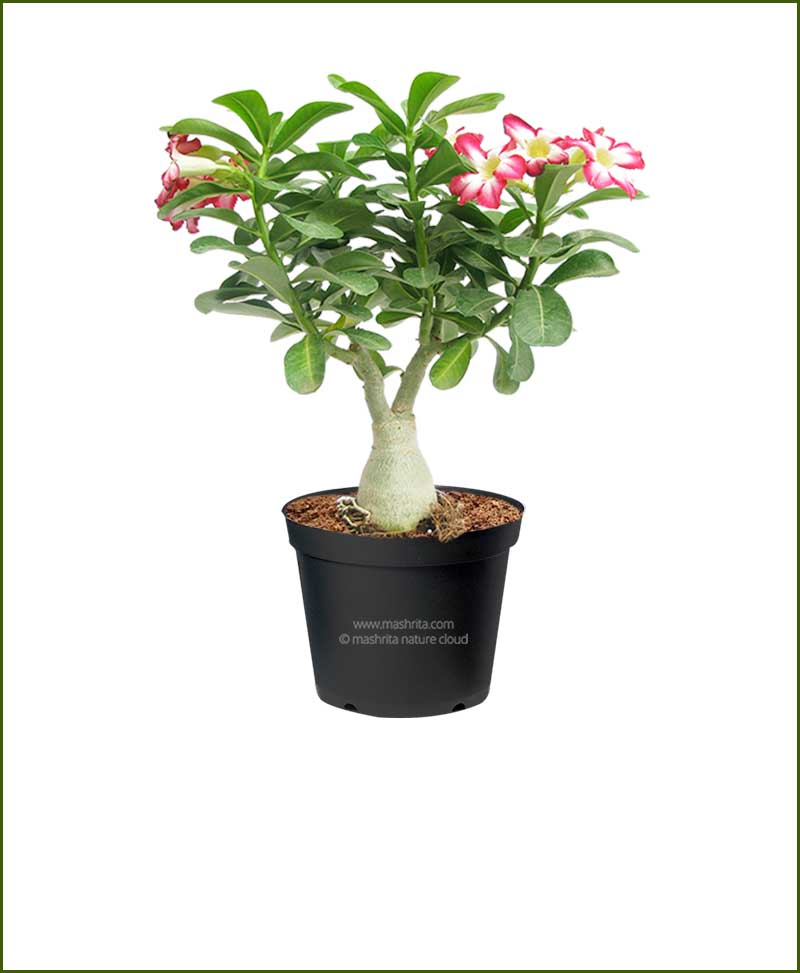 Adenium-Obesum-Desert-Rose_Mashrita_Nature_Cloud