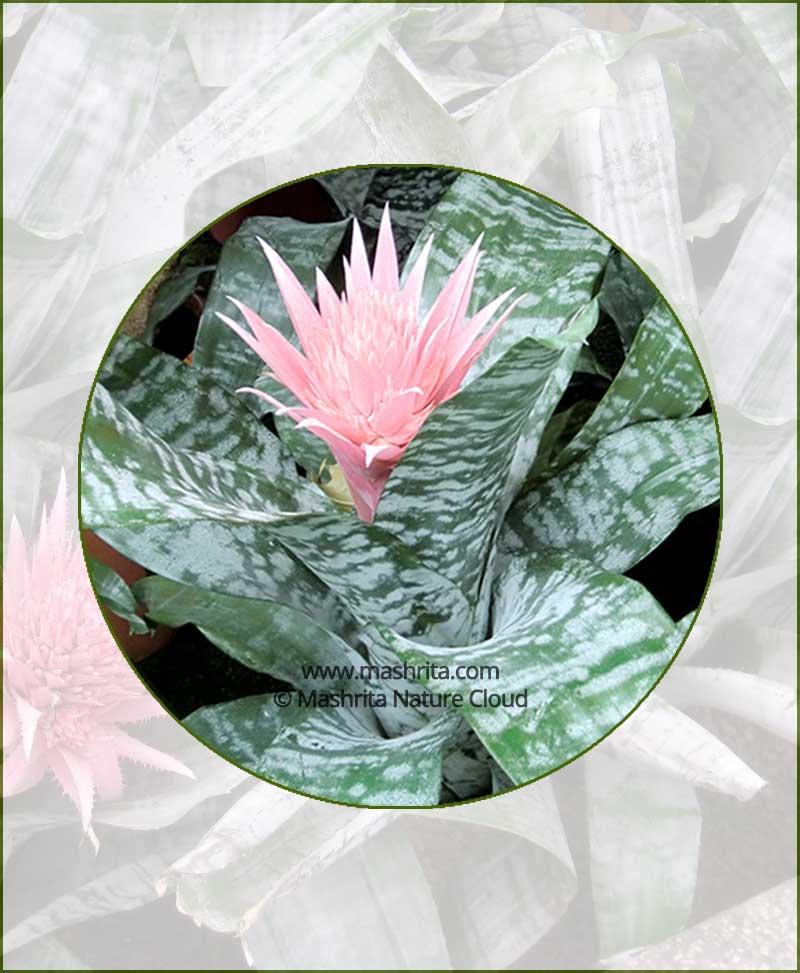 Aechmea-Fasciata_Online-Plant-Nursery