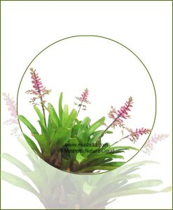 Aechmea-Gracilis-(Green)_Online-Plant-Nursery