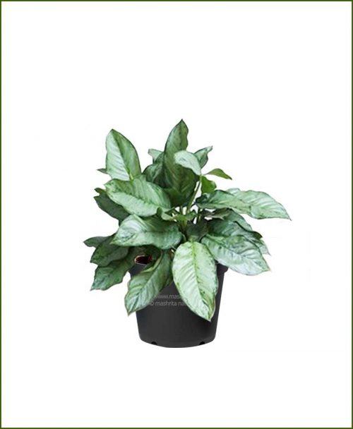 Aglaonema Cecilia_Mashrita_Nature_Cloud