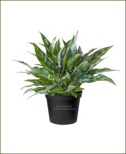 Aglaonema-Emerald-Beauty_Mashrita_Nature_Cloud