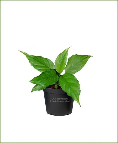 Aglaonema-Modestum_Mashrita_Nature_Cloud