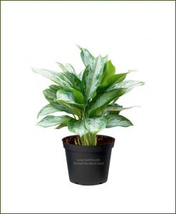 Aglaonema-Silver-Bay_Mashrita_Nature_Cloud