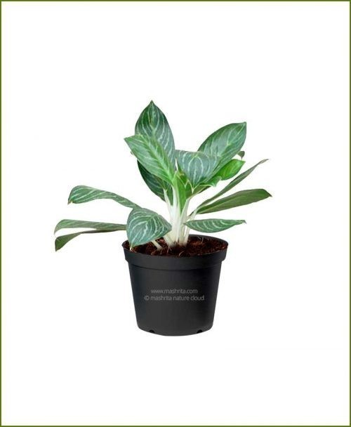 Aglaonema-Snow-Cap Mashrita Nature Cloud