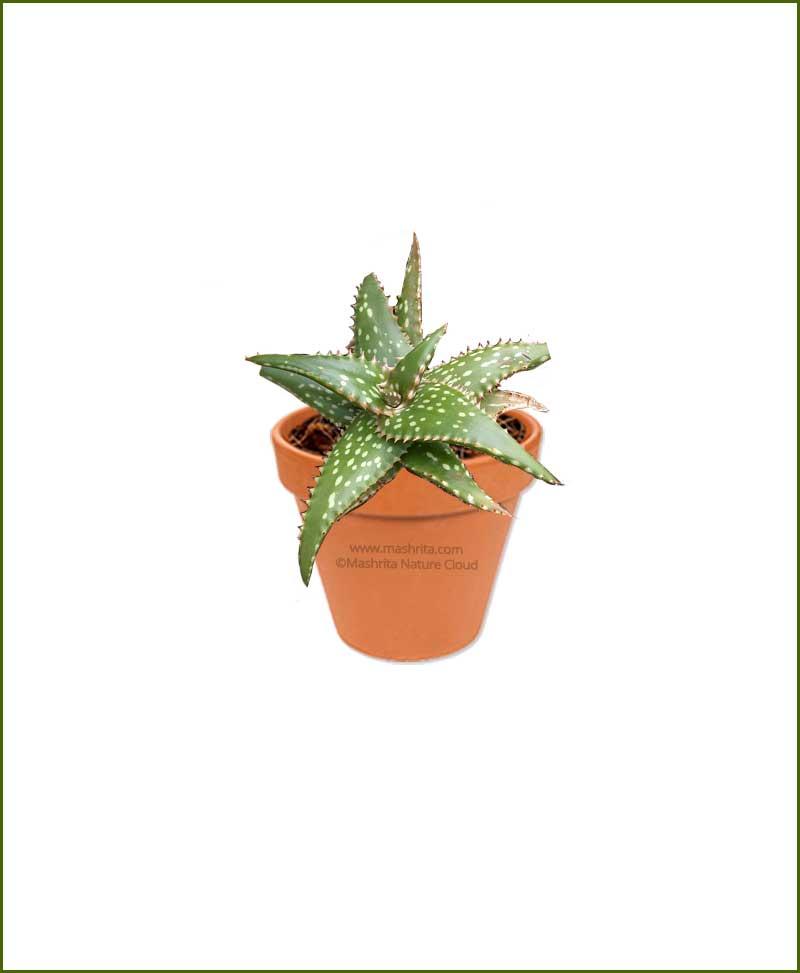 Aloe-Jucunda-Online-Plant-Nursery