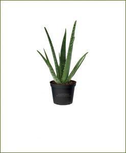 Aloe-Vera Mashrita