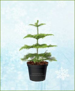 Araucaria Christmas Tree 2-3 Ft