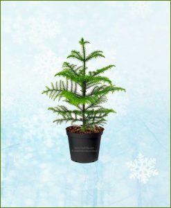 Araucaria-Christmas-Tree-2-3-Ft