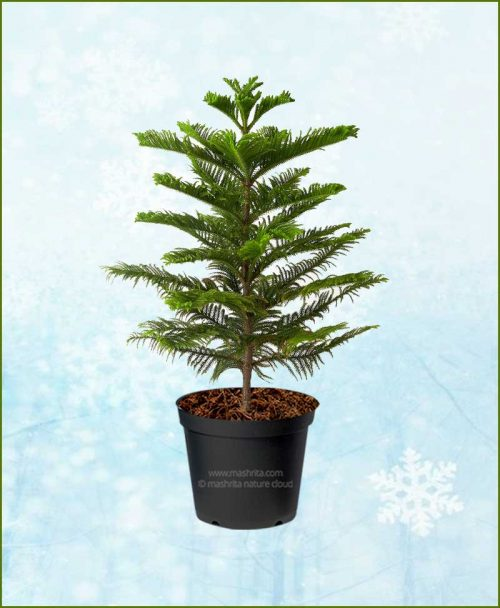 Araucaria-Christmas-Tree-4-6Ft