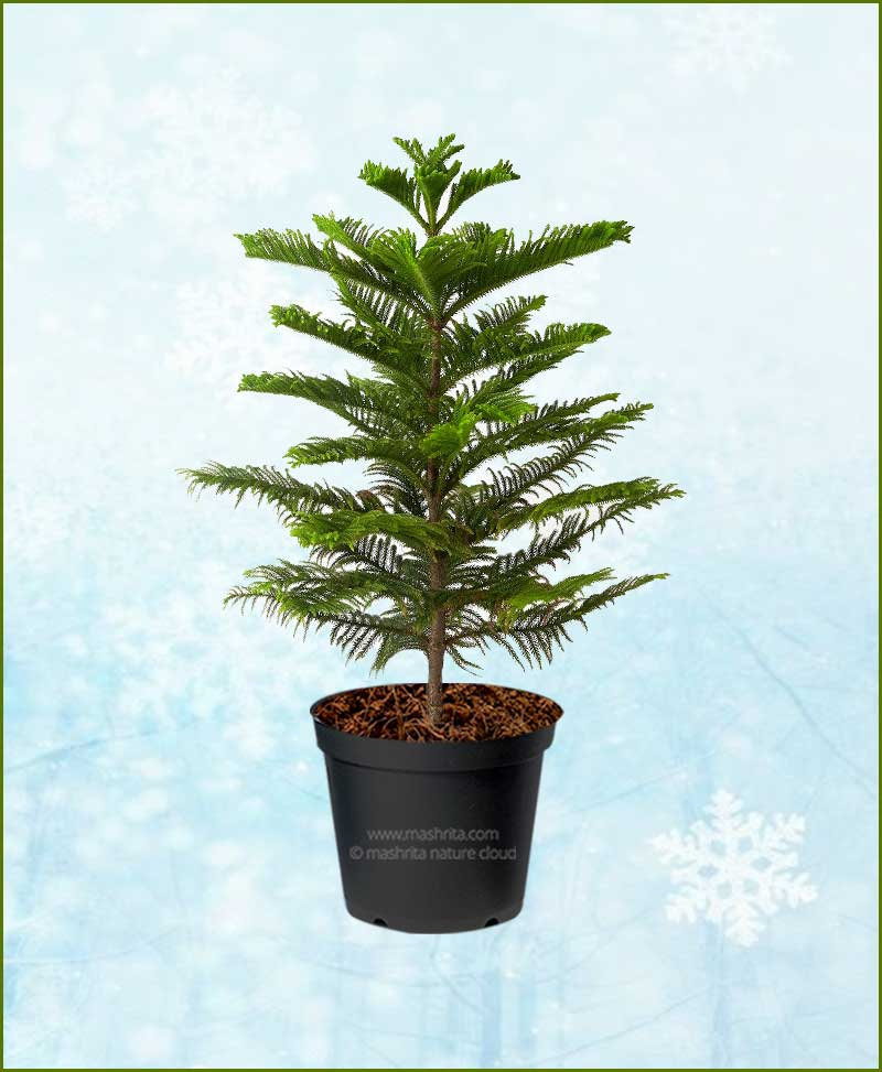 Araucaria Christmas Tree 4 6ft