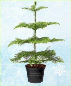 Araucaria Christmas Tree 4-6Ft