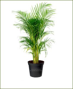 Areca Palm Dypsis Lutescens 120 Inch