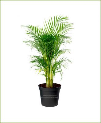 Areca Palm Dypsis Lutescens 60 Inch