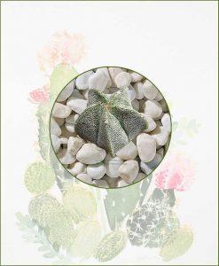 Astrophytum-Myriostigma-Online-Plant-Nursery
