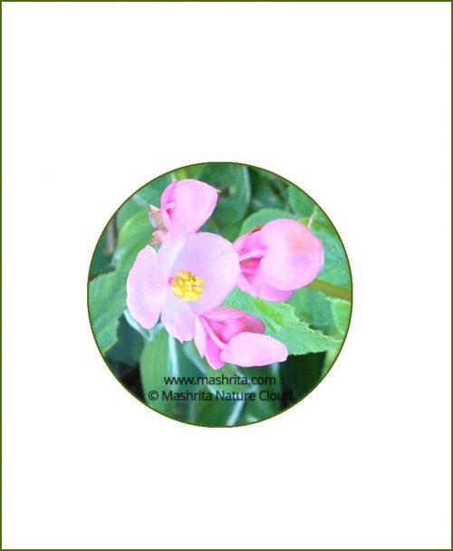 Begonia-Grandis_Online-Plant-Nursery