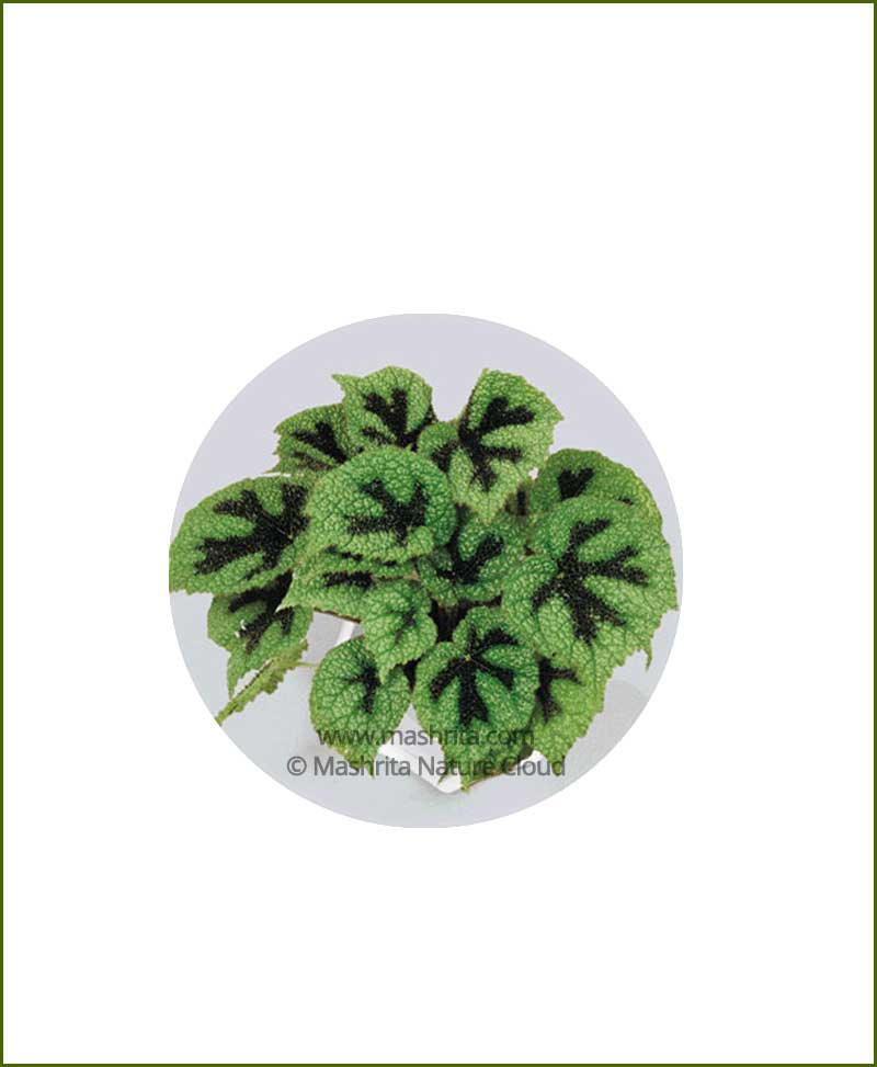 Begonia Ironcross Online Plant Nursery