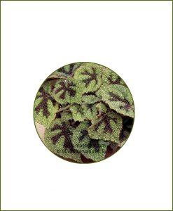 Begonia-Masoniana_Online-Plant-Nursery