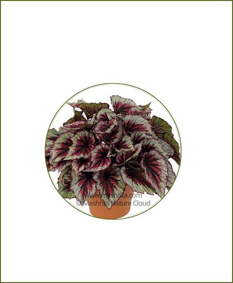 Begonia-Rex_Online-Plant-Nursery