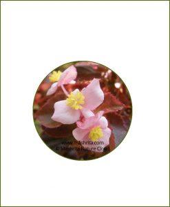 Begonia-Sparreana_Online-Plant-Nursery
