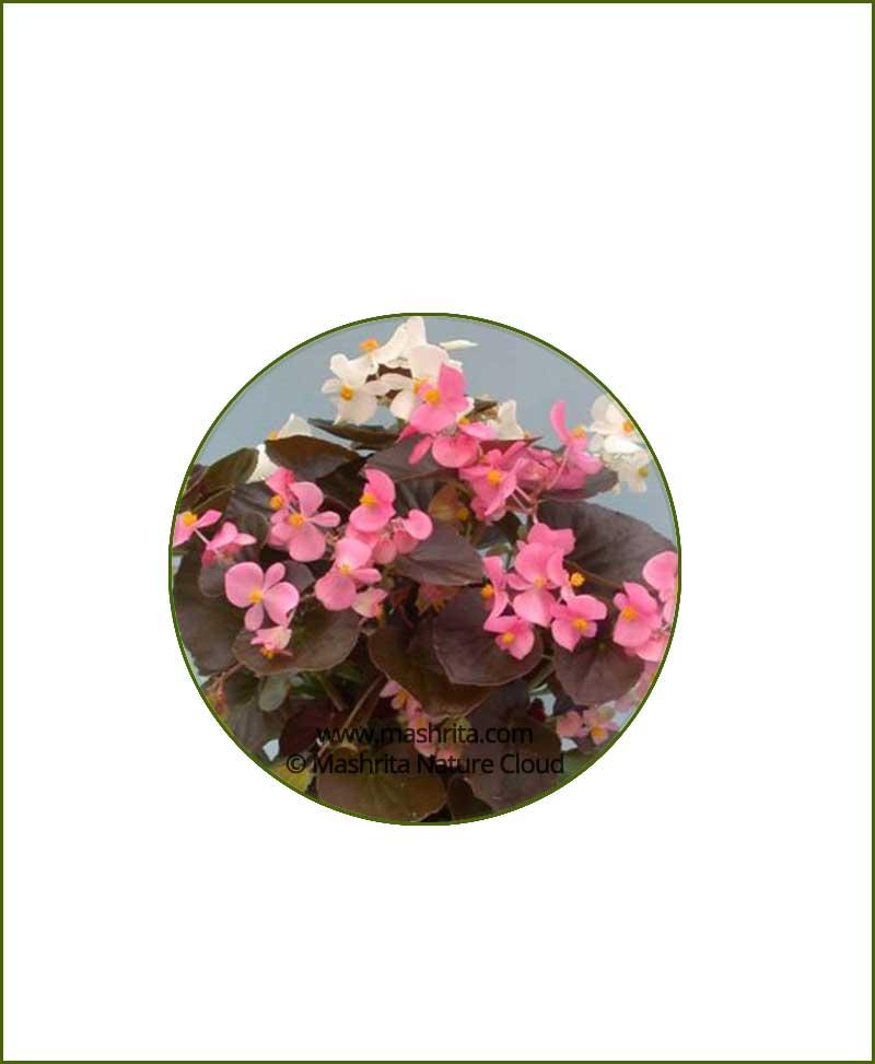 Begonia Wax